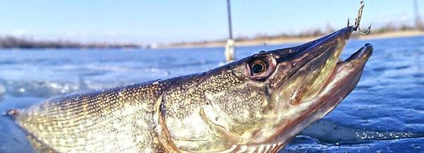 Река свислочь рыбалка